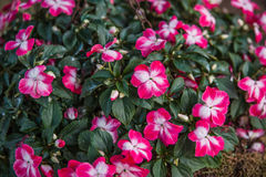 Impatiens balsamina Royalty Free Stock Photo