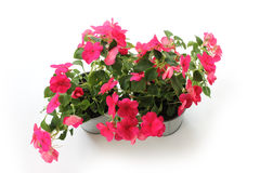 Impatiens balsamina, two flowerpot, white background Stock Image
