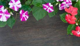Impatiens blomma arkivbilder