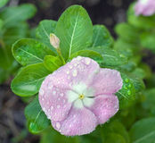 Impatiens Covered in Dewdrops. Beautiful pink impatiens flower covered with dew Stock Photos