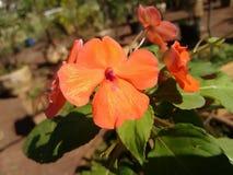 Impatiens - fleur Photo stock