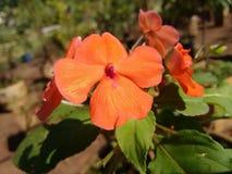Impatiens - fleur Photo libre de droits