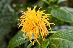 Impatiens flower Stock Photography