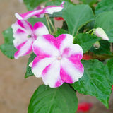Impatiens flower Royalty Free Stock Image