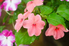 Impatiens flower Royalty Free Stock Photography