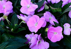 Impatiens flower (Impatiens psittacina) Stock Photos