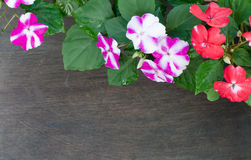 Impatiens flower Royalty Free Stock Photo