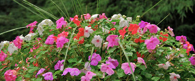 Impatiens Flowers. Multicolored Impatiens after a summer rain Stock Image