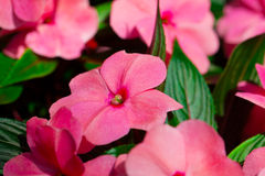 Free Impatiens Flowers Stock Image - 29826141