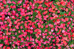 Impatiens flowers background Royalty Free Stock Photo