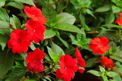 Impatiens flowers Royalty Free Stock Photos