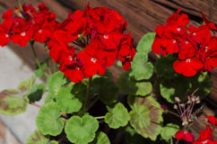 Impatiens flowers on flower bed in the garden. ! Royalty Free Stock Photography