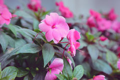 Impatiens Royalty Free Stock Photography