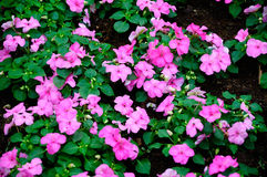 Impatiens Royalty Free Stock Photos