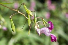 Impatiens glandulifera flowers. Royalty Free Stock Image