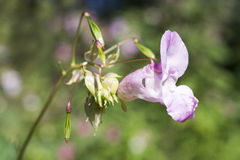 Impatiens glandulifera flowers. Stock Images