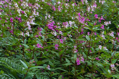 Impatiens glandulifera, Himalayan balsam, flowering. Royalty Free Stock Image
