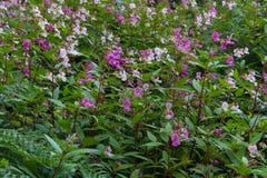 Impatiens glandulifera, Himalayan balsam som blommar Royaltyfri Bild