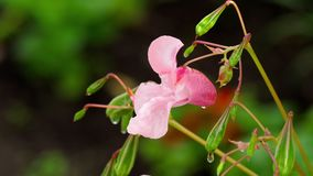 Impatiens glandulifera Royle with raindrops stock video footage