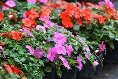 Impatiens hawkeri flower Stock Photos