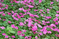Impatiens hawkeri flower bed Stock Photo