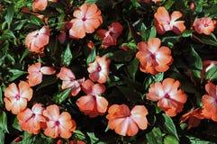 Impatiens hawkeri. Garden bed with flowering impatiens hawkeri royalty free stock photos