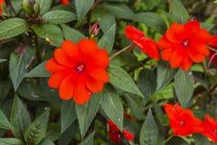 Impatiens hawkeri (New Guinea impatiens). Stock Photography