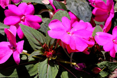 Impatiens x hybrida 'Sunpatiens Compact Magenta'. Cultivar with compact habit and beautiful magenta flowers, suitable for landscapes and containers stock photo