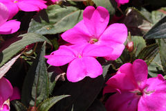 Impatiens x hybrida 'Sunpatiens Compact Magenta'. Cultivar with compact habit and beautiful magenta flowers, suitable for landscapes and containers royalty free stock photos