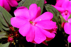 Impatiens x hybrida 'Sunpatiens Compact Magenta'. Cultivar with compact habit and beautiful magenta flowers, suitable for landscapes and containers royalty free stock photography