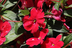 Impatiens x hybrida 'Sunpatiens Compact Red'. Cultivar with compact habit and beautiful red flowers, suitable for landscapes and containers royalty free stock photos