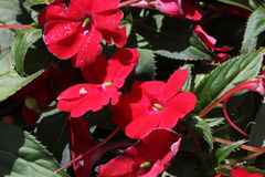 Impatiens x hybrida 'Sunpatiens Compact Red'. Cultivar with compact habit and beautiful red flowers, suitable for landscapes and containers stock photos