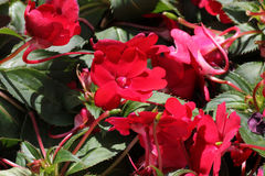 Impatiens x hybrida 'Sunpatiens Compact Red'. Cultivar with compact habit and beautiful red flowers, suitable for landscapes and containers royalty free stock image
