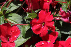 Impatiens x hybrida 'Sunpatiens Compact Red'. Cultivar with compact habit and beautiful red flowers, suitable for landscapes and containers stock photo