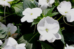 Impatiens x hybrida 'Sunpatiens Compact White'. Cultivar with compact habit and beautiful white flowers, suitable for landscapes and containers royalty free stock photo