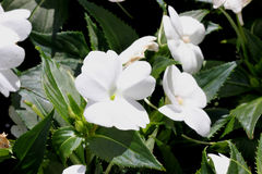 Impatiens x hybrida 'Sunpatiens Compact White'. Cultivar with compact habit and beautiful white flowers, suitable for landscapes and containers royalty free stock photos
