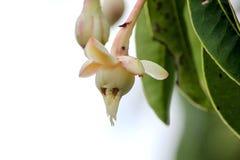 Impatiens kerriae są zielnym rośliną w naturze fotografia stock