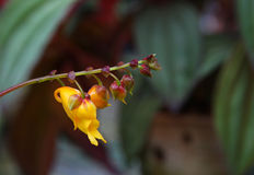 Impatiens mirabilis. Yellow jewelweed from south of Thailand Royalty Free Stock Photography
