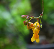 Impatiens mirabilis. Yellow jewelweed from south of Thailand Stock Image