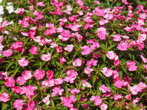 Impatiens New Guinea flower Royalty Free Stock Photography