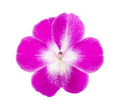 Impatiens Stock Photography