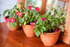 Impatiens Plants Royalty Free Stock Images
