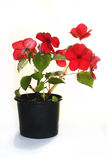 Impatiens in pot Royalty Free Stock Image