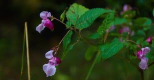 Impatiens Psittacina w naturze fotografia stock