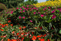 Impatiens red and pink flowers in flowerbeds. Impatiens red and pink flowers in the flowerbeds stock photos