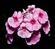 Impatiens rosa Fotografie Stock Libere da Diritti