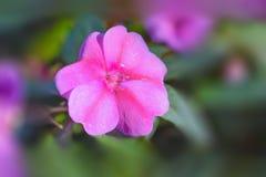 Impatiens rosado Sodenii Imagen de archivo
