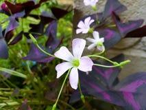 Impatiens scapiflora stock photography