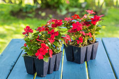 Impatiens Seedlings. Greenhouse grown pack containing seedlings of impatiens plants (Impatiens wallerana)plants ready for transplanting into a home garden Royalty Free Stock Images