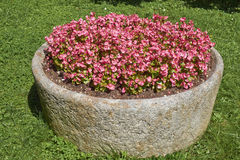 Impatiens in a stone planter Royalty Free Stock Photo